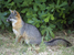 Urocyon littoralis (Island Fox)