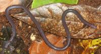 Boulengerula niedeni (John Measey)
