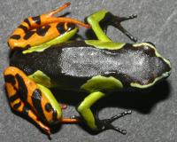 Mantella madagascariensis (Taran Grant)