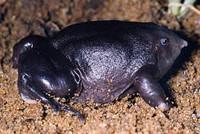 Nasikabatrachus sahyadrensis (S.D. Biju)