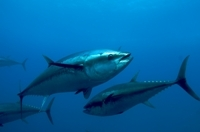 Atlantic Bluefin Tuna (Thunnus thynnus).  Photo © OCEANA - Keith Ellenbogen