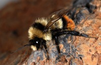 Bombus cullumanus. Photo © Pierre Rasmont