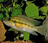"<p><span style=""font-size: smaller;""><span style=""font-family: Arial;""><a href=""http://www.iucnredlist.org/apps/redlist/details/183124/0""><i>Chromidotilapia guntheri loenbergi</i></a> </span></span><span style=""font-size: smaller;"">© <a href=""mailto:2007@belowwater.com?subject=Image%20used%20on%20IUCN%20Red%20List%20website"">Oliver Lucanus</a>/<a href=""http://www.belowwater.com/"">Belowwater.com</a></span></p>"