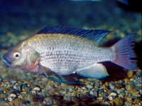 "<p><span style=""font-size: smaller;""><a href=""http://www.iucnredlist.org/apps/redlist/details/15457/0""><i>Oreochromis esculentus</i></a></span><span style=""font-size: smaller;""> © </span><span style=""font-size: smaller;""><a href=""mailto:2007@belowwater.com?subject=Image%20used%20on%20IUCN%20Red%20List%20website""><span style=""font-size: smaller;"">Oliver Lucanus</span></a><span style=""font-size: smaller;"">/</span><a href=""http://www.belowwater.com/""><span style=""font-size: smaller;"">Belowwater.com</span></a></span></p>"