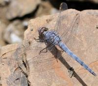 "<p><span style=""font-size: smaller;""><a href=""http://www.iucnredlist.org/apps/redlist/details/184946/9""><i>Orthetrum ransonneti</i></a> </span><span style=""font-size: smaller;"">© <a href=""mailto:jean-pierre.boudot@limos.uhp-nancy.fr?subject=Image%20used%20on%20IUCN%20Red%20List%20website"">Jean-Pierre Boudot</a></span></p>"