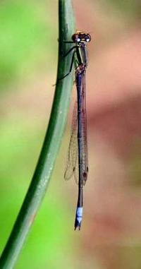 "<p><span style=""font-size: smaller;""><a href=""http://www.iucnredlist.org/apps/redlist/details/60271/0""><i>Pseudagrion kaffinum</i></a> © <a href=""mailto:violacl@t-online.de?subject=Image%20used%20on%20IUCN%20Red%20List%20website"">Viola Claustnitzer</a></span></p>"