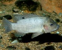 "<p><a target=""_blank"" href=""http://www.iucnredlist.org/apps/redlist/details/183007""><span style=""font-size: smaller;""><i>Tilapia busumana</i></span></a><span style=""font-size: smaller;""> © </span><span style=""font-size: smaller;""><a href=""mailto:2007@belowwater.com?subject=Image%20used%20on%20IUCN%20Red%20List%20website""><span style=""font-size: smaller;"">Oliver Lucanus</span></a><span style=""font-size: smaller;"">/</span><a href=""http://www.belowwater.com/""><span style=""font-size: smaller;"">Belowwater.com</span></a></span></p>"