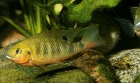 "<p><span style=""font-size: smaller;""><i><a href=""http://www.iucnredlist.org/apps/redlist/details/21892/0"">Tilapia gutturosa</a> </i>© <a href=""mailto:2007@belowwater.com?subject=Image%20used%20on%20IUCN%20Red%20List%20website"">Oliver Lucanus</a>/<a href=""http://www.belowwater.com/"">Belowwater.com</a></span></p>"