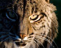 Iberian Lynx          Lynx pardinus © A.Rivas
