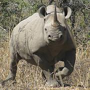 Black Rhinoceros (Diceros bicornis) Photo: Lowveld Rhino Trust, Zimbabwe