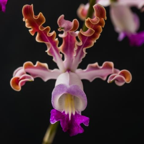 Banana Orchid (Myrmecophila thomsoniana) is listed as Endangered on The IUCN Red List. Photo: José Pestana