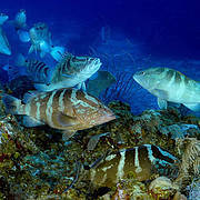 The Nassau Grouper (Epinephelus striatus) once formed numerous, immense spawning groups. However, heavy fishing has reduced these spawning groups and overall population numbers to critically low values. Photo: Enric Sala/SCRFA