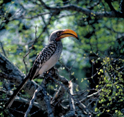 A Yellow Hornbill in Kruger National Park, South Africa Photo: IUCN Photo Library © Jim Thorsell