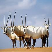 Arabian Oryx (photo © D. Mallon/Antelope Specialist Group)