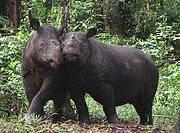 Sumatran Rhinoceros (Dicerorhinus sumatrensis) Photo: Yayasan Badak Indonesia (YABI) - Dedi Candra