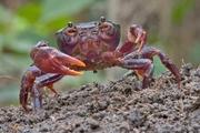 Purple Marsh Crab (Afrithelphusa monodosa) © Piotr Naskrecki