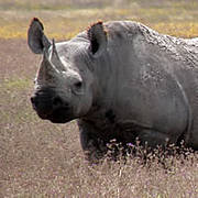 African Black Rhino in Ngorongoro. Photo: IUCN/Richard Emslie