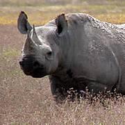 African Black Rhino in Ngorongoro. Photo: IUCN/Richard Emslie