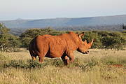 White Rhino, Ceratotherium simum (photo © Lucky Mavrandonis, Black Rhino Monitoring Project sponsored by the David Shepherd Wildlife Foundation)