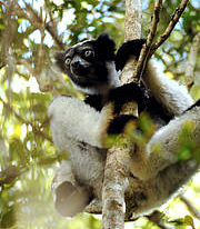 Indri is the largest living lemur. Its hind limbs propel it through the trees in leaps up to 30 feet Photo: © Conservation International/photo by Russell A. Mittermeier