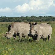 Southern White Rhino subspecies (Ceratotherium simum simum). Photo © Dr Richard Emslie