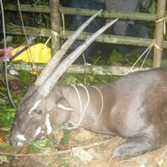 Saola captured by villagers in Laos (photo © Bolikhamxay Provincial Conservation Unit)