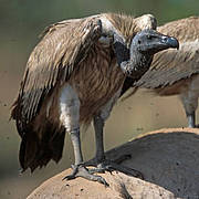 Slender-billed Vulture (Gyps tenuirostris). Photo: Allan Michaud