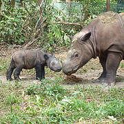 Andatu; the first Sumatran Rhino born in captivity in Indonesia. Photo: International Rhino Foundation/S.Ellis