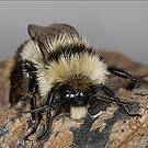 The population of the Endagered Bombus cullumanus has declined by more than 80% over the last decade Photo: Pierre Rasmont