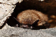 Myotis mystacinus Photo: Flickr/Gilles San Martin