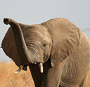 African Elephant (Loxodonta africana). Photo: Alicia Wirz (IUCN Photo Library).