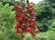 Schisandra fruit Photo: TRAFFIC