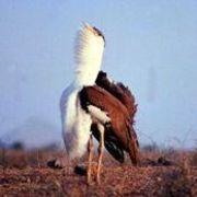Great Indian Bustard (Ardeotis nigriceps) Photo: Asad R Rahmani