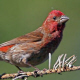 Purple Finch is shifting its range northwards. Photo © Ashok Koshla.