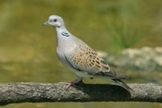 European Turtle Dove has declined by 62% in the last 26 years (photo © Denis Cachia)