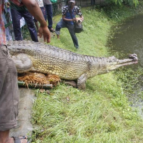 Male gharial from Dhaka Zoo is being released in Rajshahi Zoo, 13 August 2017.Photo: ©Zenifar Azmiri/ IUCN.