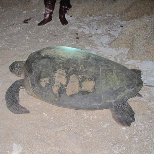 Photo: A turtle on the beach of Hon Cau MPA © IUCN Viet Nam