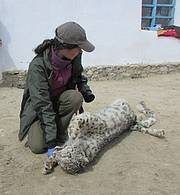 The sad part about Tanya's work is that sometimes her team has to deal with retaliatory killings of snow leopards. In this case they convinced the farmer not to sell the skin and parts and hand them over to the authorities. The team is now also working with him and his neighbours to better protect their livestock. Photo: Jura Bahriev