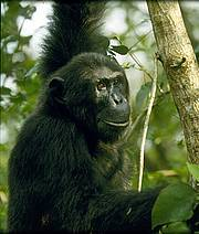 Eastern chimpanzee (photo © Andrew Plumptre/Wildlife Conservation Society)