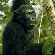 Eastern chimpanzee (photo © Andrew Plumptre/Wildlife Conservation Society)