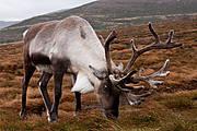 "Reindeer (Rangifer tarandus) ""Cairngorm Reindeer"" (Photo © Robin McConnell/Flickr)"