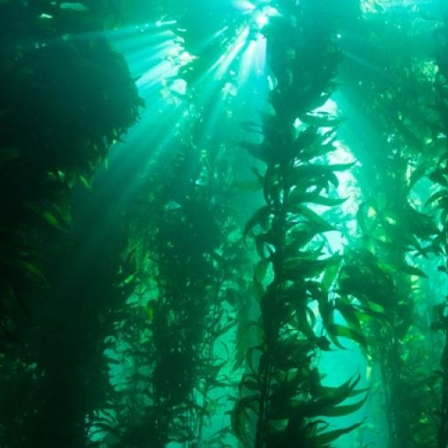 Kelp Forest. Photo: NOAA (CC BY 2.0).