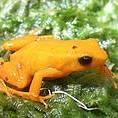 Golden Mantella Frog (photo: Madagasikara Voakajy)