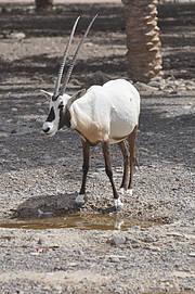 Arabian Oryx Photo: Jean Christophe Vié
