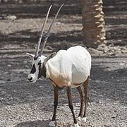 Arabian Oryx Photo: Jean Christophe Vié