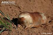Juliana's golden-mole (Neamblysomus julianae) Photo: ARKive - www.arkive.org