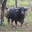 Wild Asian Buffalo (Bubalus arnee). Photo: Satpuda Foundation