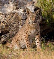 Iberian Lynx (Lynx pardinus) Photo: A. Rivas