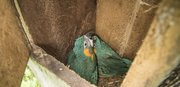 Blue-throated Macaw chicks in one of the nest boxes. ©Aidan MacCormick