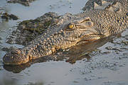 Saltwater Crocodile (Crocodylus porosus). Photo: Stephen Barnett/Flickr - Creative Commons